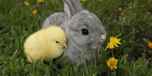Gray rabbit bunny baby and yellow chick